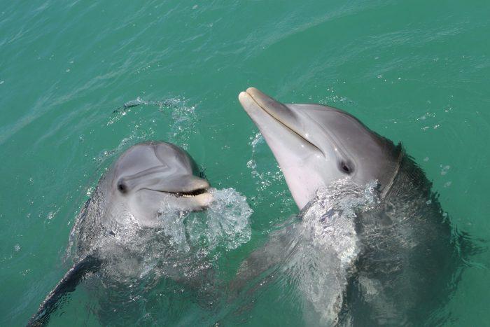 Dolfijnen met elkaar in Blue Lagoon