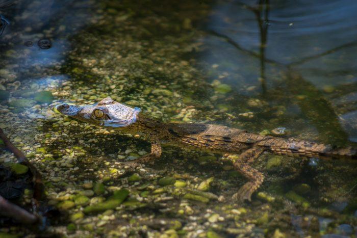 Kleine Amerikaanse krokodil in Lake Enriquillo