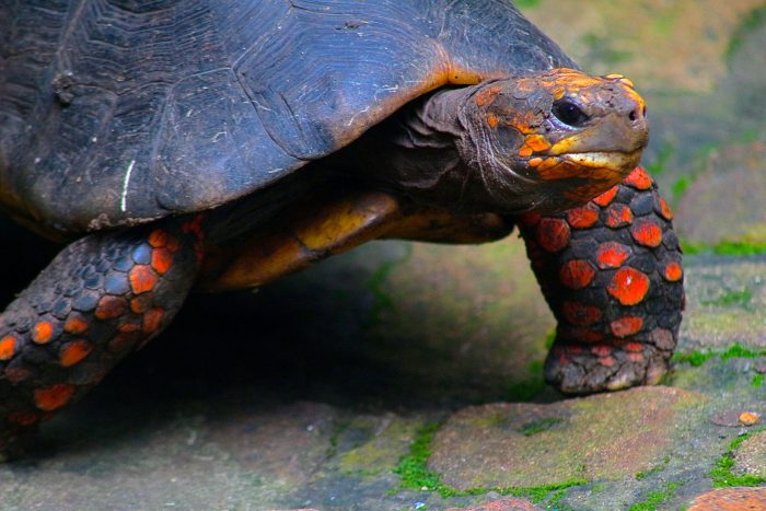 Oranje Schildpad bij Barbados