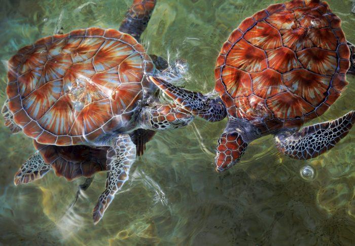 Schildpadden op de Cayman Turtle Farm
