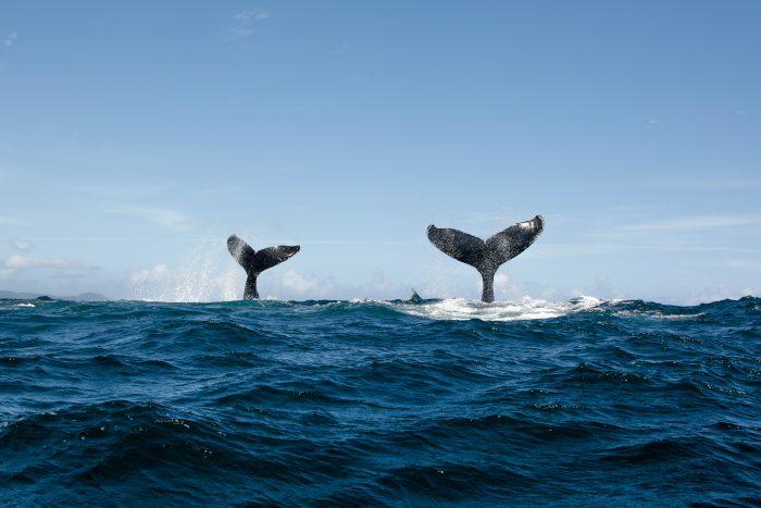 Twee bultruggen (walvissen) in de Domicaanse wateren bij Samana