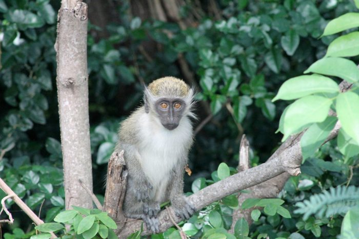 Vervet aapje in de Wingfield-Phillips Rain Forest Nature Trail