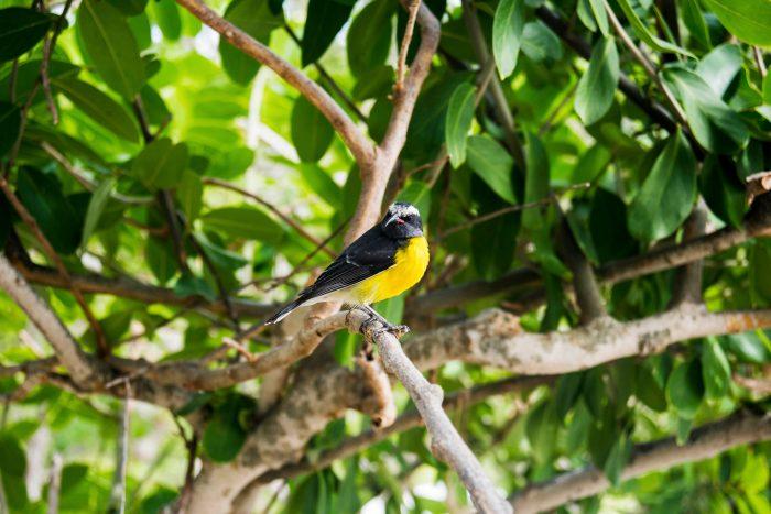 Vogel in de takken op Saint Vincent en de Grenadines