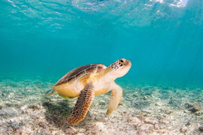 Zeeschildpad bij Kaaimaneilanden