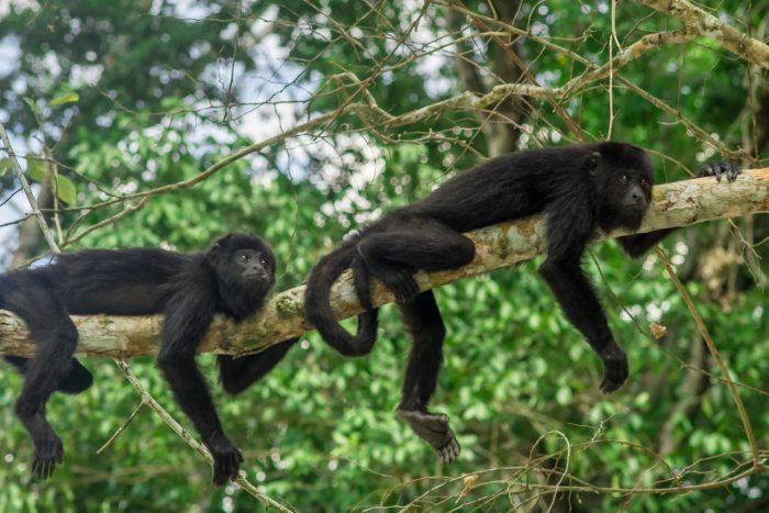 Apen bij Tikal