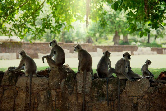 Backpacken Sri Lanka - Aapjes op de muur