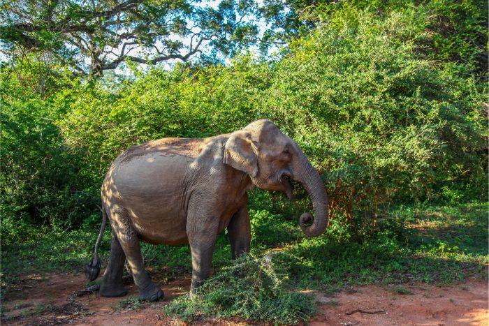 Backpacken Sri Lanka - Olifant in Yala Nationaal Park
