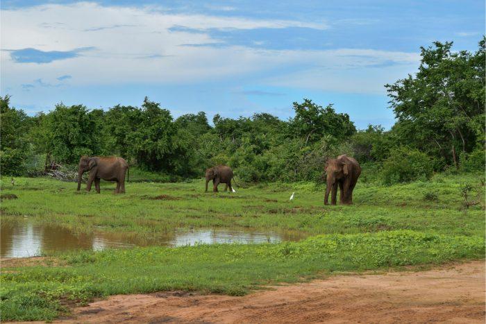 Backpacken Sri Lanka - Olifanten in Udawalawe