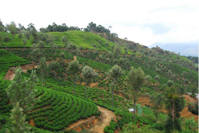 Backpacken Sri Lanka - Theeplantages in Nuwara Eliya