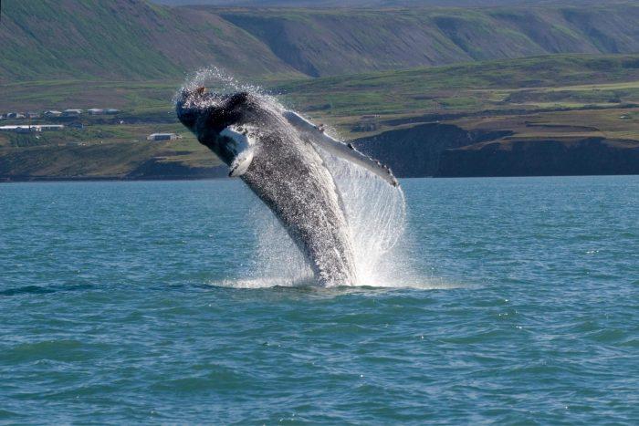 Backpacken in IJsland - Walvis springt uit het water