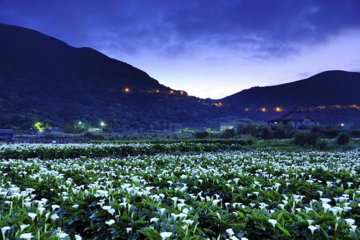 Taipei Calla-Lelies