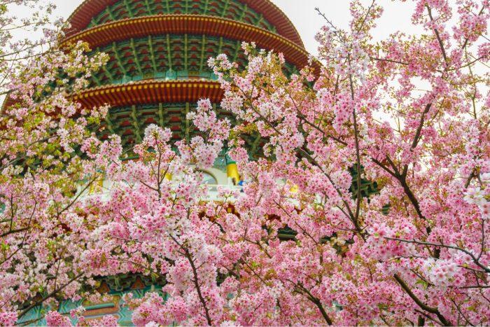 Tian Yuan Tempel Kersenbloesems (Sakura)