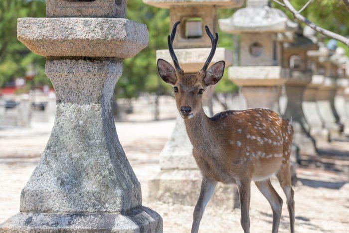 Hert op Miyajima eiland