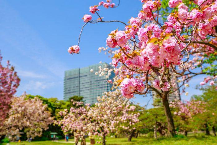 Kersenbloesems in Tokyo
