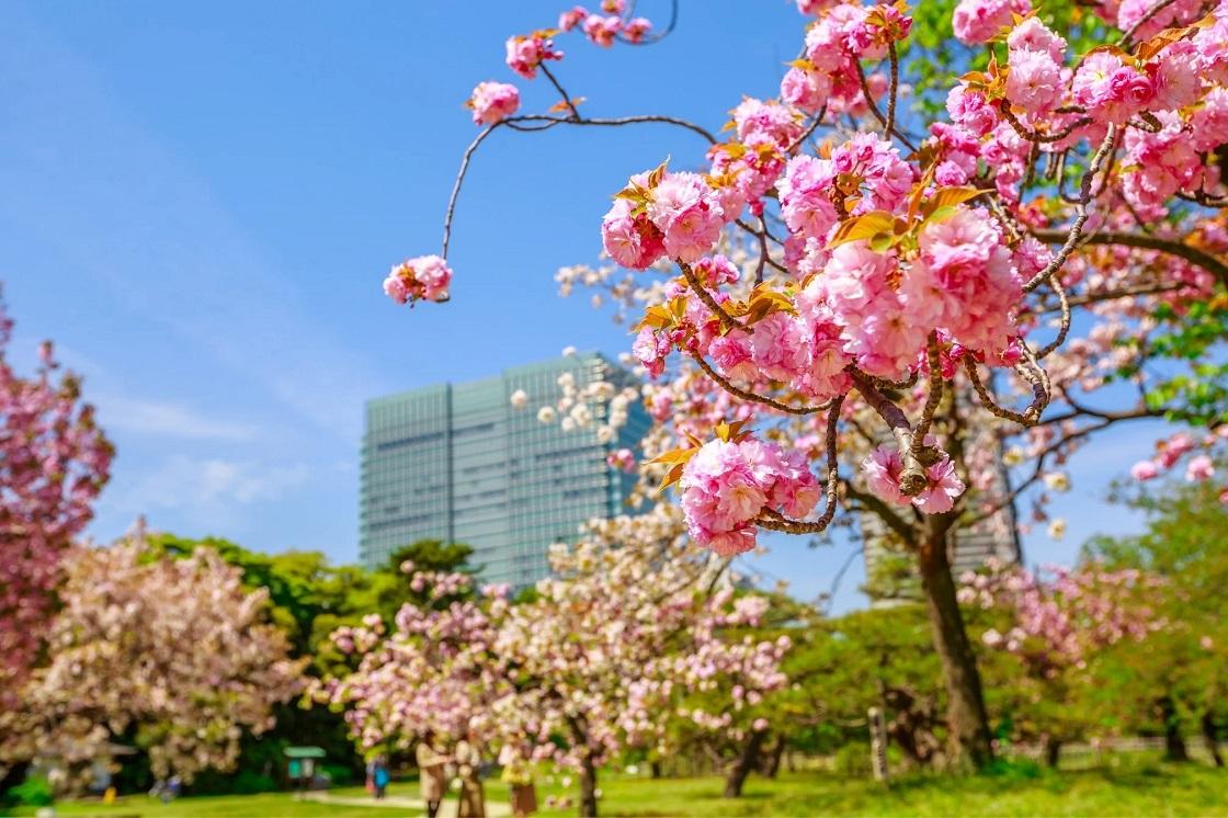 Kersenbloesems in bloei in Tokyo
