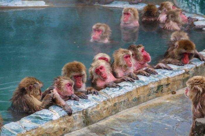 Aapjes in de Japanse onsen