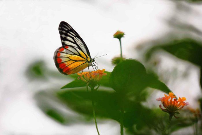 Kuang Si vlinderpark