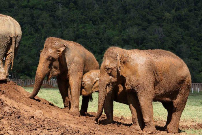 Olifanten in het Elephant Nature Park in Chiang Mai