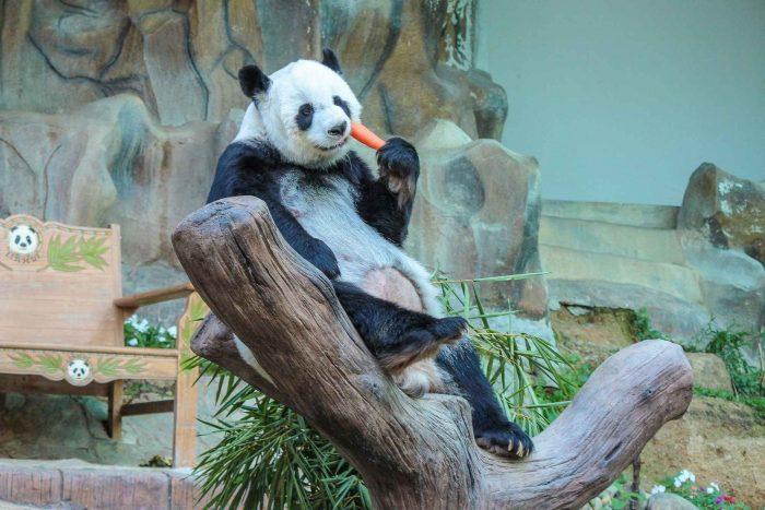 Panda in de dierentuin van Chiang Mai