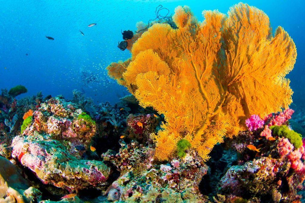 Duiken op de Similan Eilanden met prachtig koraal