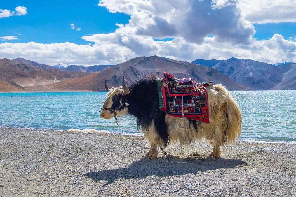 Een Yak bij een meer in Ladakh