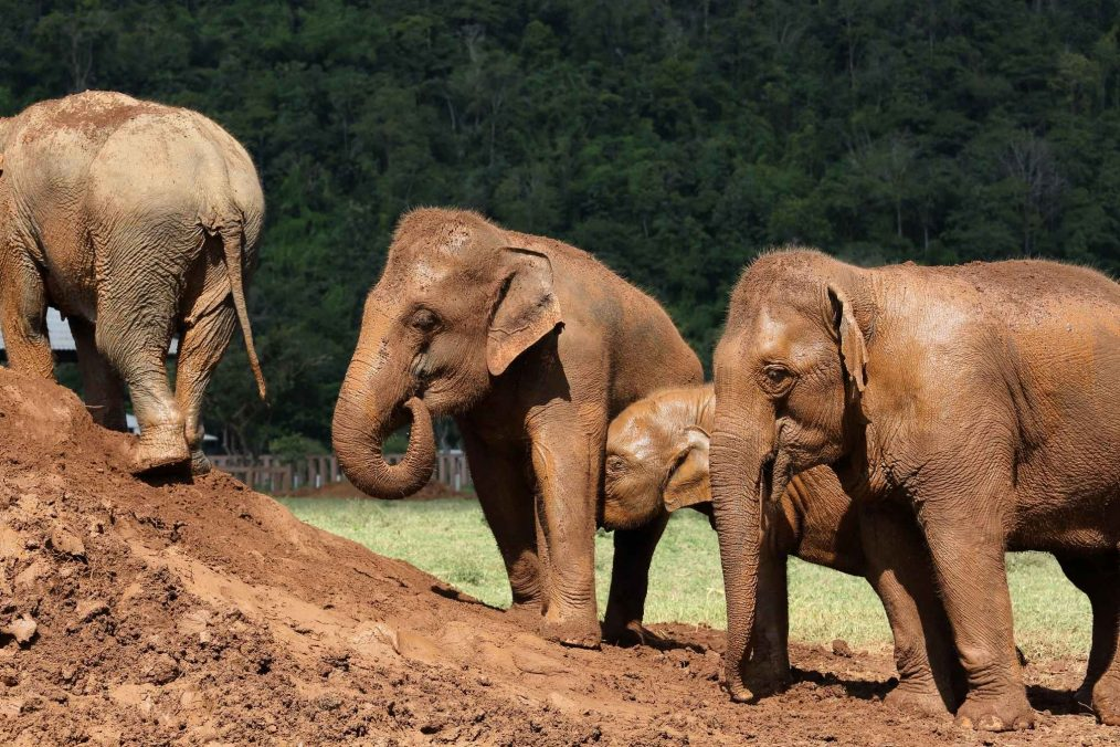 Olifanten in het Elephant Nature Park