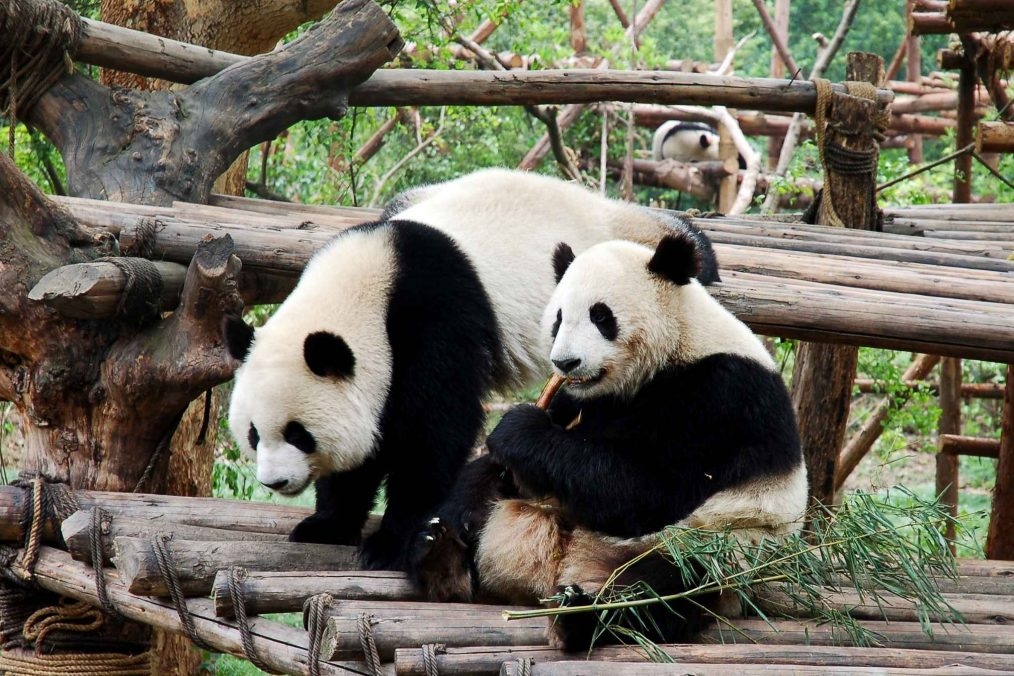Panda's in Chengdu