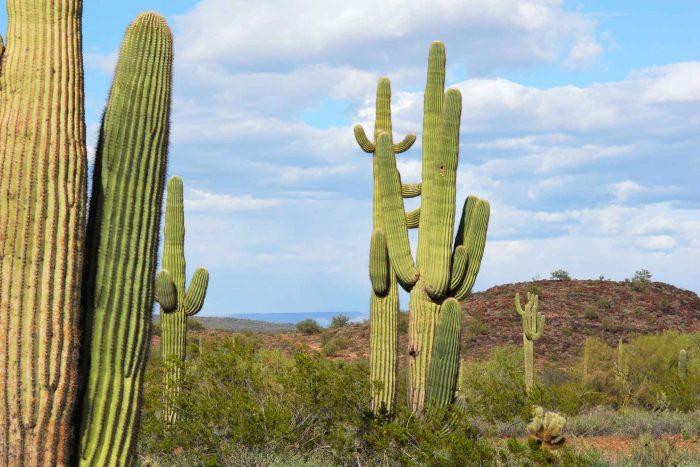 Saguaro Cactussen