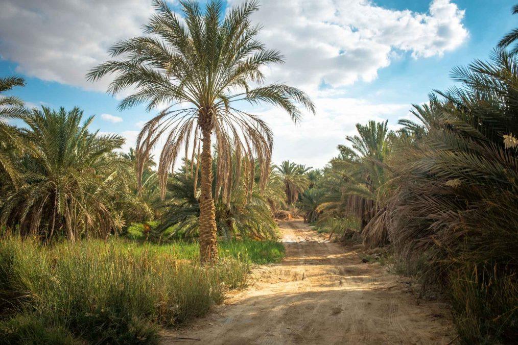 Wandelpad door palmbomen bij Siwa Oase