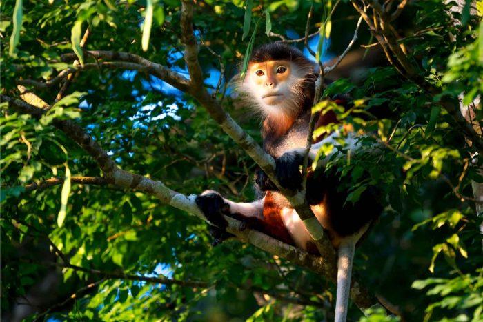 Een aapje op het Son Tra schiereiland