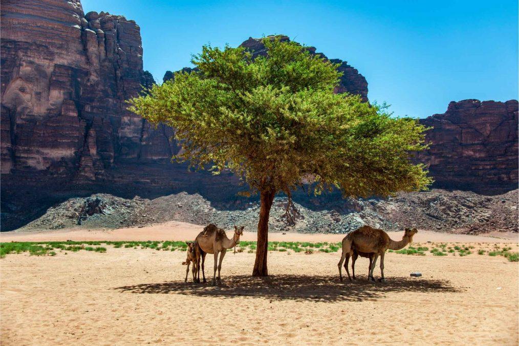 Kamelen in de schaduw in Wadi Rum