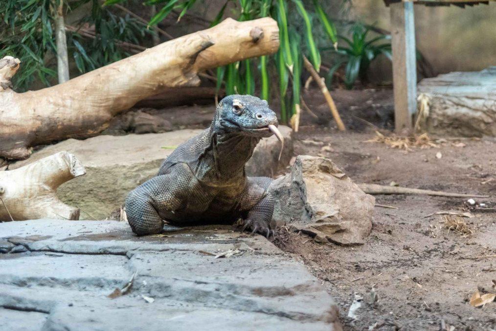 Varaan in de Chester Zoo