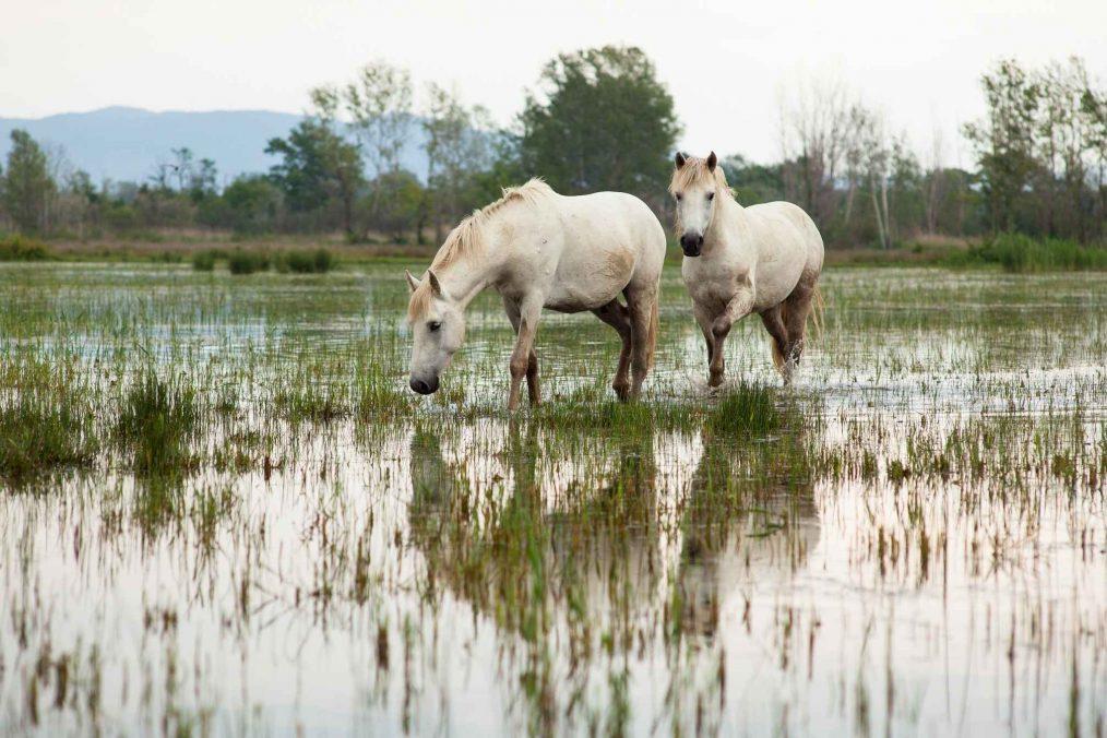 Wilde witte paarden in de Camargue