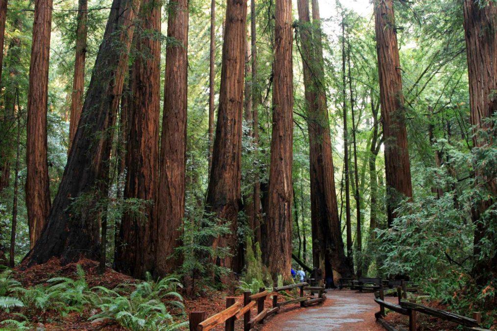 De lange oude bomen van Muir Woods