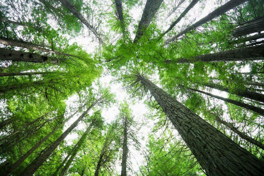 Hoge bomen in Humboldt County
