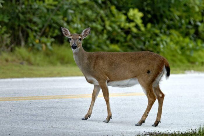 Klein hert in Big Pine Key
