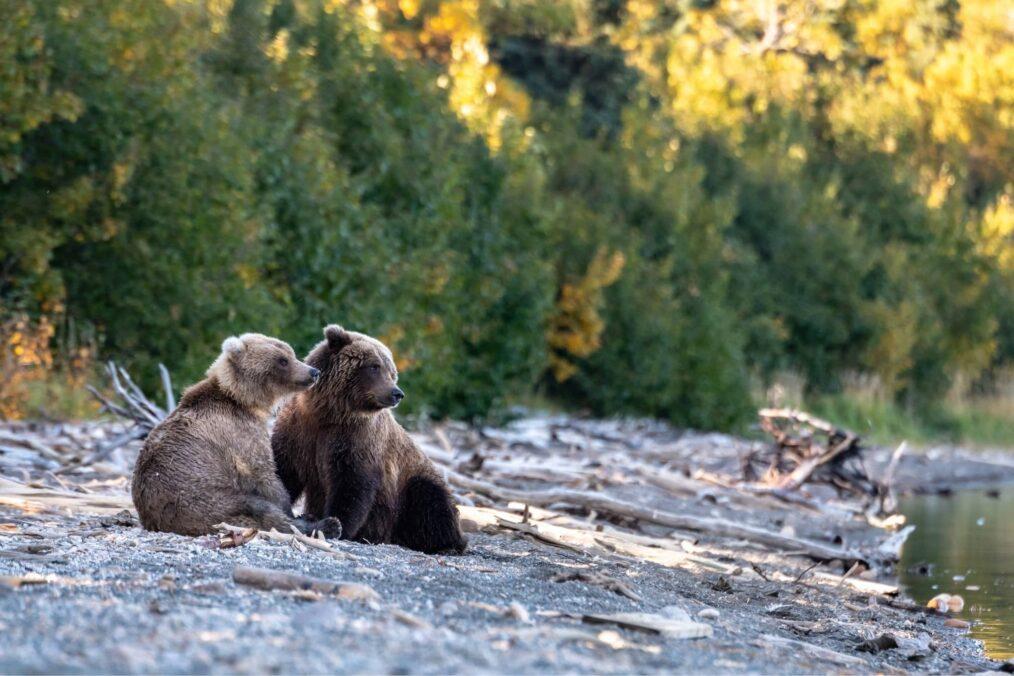 Wilde beren bij Katmai National Park