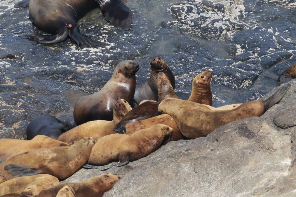 Zeeleeuwen bij de Sea Lion Caves