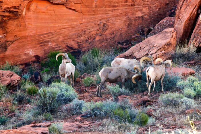 Desert Bighorn Sheep in Valley of Fire National Park, Nevada