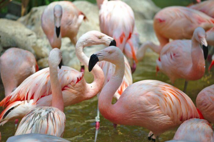 Flamingo's bij de Houston Zoo