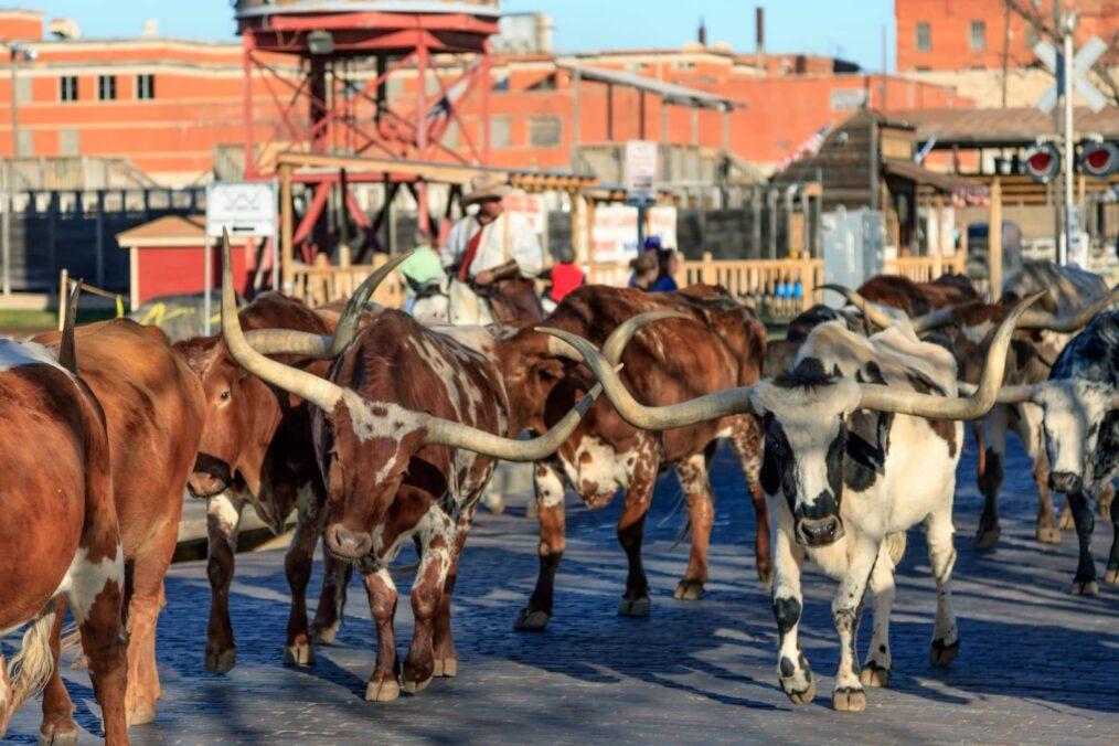 Het veedrijven in Forth Worth