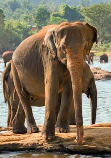 Wilde olifanten in Sri Lanka